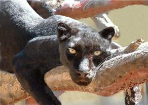 black-panther-lying-on-a-tree